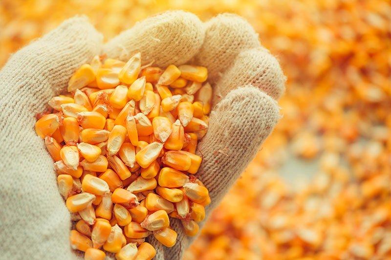 handful of corn kernels